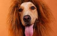 狗假狮威,当狗带上狮子头套
