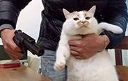 中华气死猫,真被它气死!