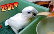 小鹦鹉吃饭的时候话太多了